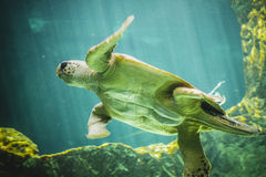 Huge sea turtle underwater next to coral reef Stock Photo