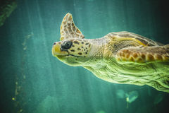 Huge sea turtle underwater next to coral reef Stock Images