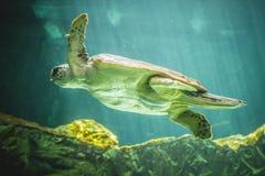 Huge sea turtle underwater next to coral reef royalty free stock photo