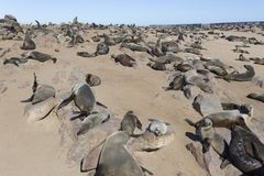 A huge seal colony. In Namibia royalty free stock images