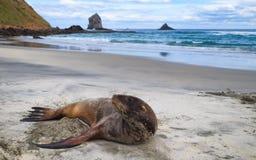 Seal enjoying the sandy New Zealand beach stock photos