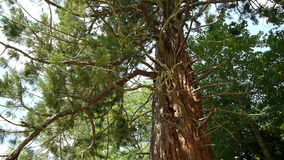 Huge Sequoia tree at a botanical garden stock video