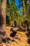 Huge sequoia tree in the Sequoia National park. royalty free stock images