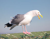 The huge SF Sea Gull Stock Photos