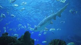 Huge Shark surrounded by lots of different fishes, 7 shots. Amazing, Huge Shark surrounded by lots of different fishes in oceanarium, set of 7 shots stock video