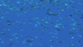 Huge Shoal of fish stock video footage