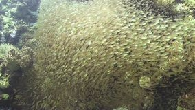 Huge Shoal of Small Fish on Coral Reef stock video