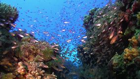 Huge Shoal of Small Fish on Coral Reef stock footage