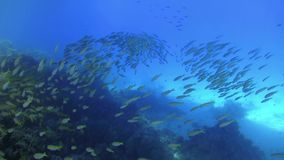 Huge Shoal of Yellow Fish on Coral Reef. Underwater scene stock footage