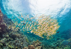 Huge Shoal of Yellow Fish Royalty Free Stock Photo