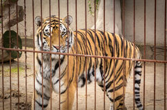 Huge Siberian tiger. Look across the cage close-up Stock Photos