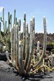 Huge silver cactus, Lanzarote Stock Image