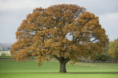 Huge Single Oak tree in autumn Stock Images