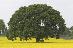Huge Single Oak tree in spring Stock Photo