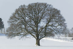 Huge Single Oak tree in winter snow Stock Photography