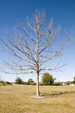 Huge single tree in winter. With no leaves and blue sky Royalty Free Stock Image