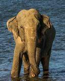 Huge single wild elephant. In blue water stock photos
