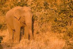 Single wild elephant. Huge single wild elephant , srilanka stock images