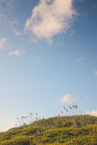 Huge sky over Cattails in a rolling field Royalty Free Stock Photography