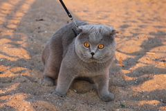 A huge smoky cat with yellow eyes and a collar royalty free stock photo