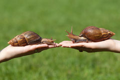 Huge snails Royalty Free Stock Image