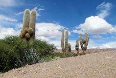 Huge South American cactus on a hill. Big, huge, tall green cactus growing in the desert of South America, Argentina, Mexico, Chilie. Cacti, los Cardones. Desert Stock Photos