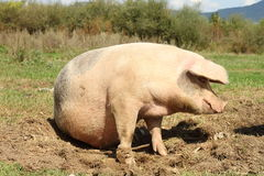 Huge sow standing on meadow near the farm Stock Photo