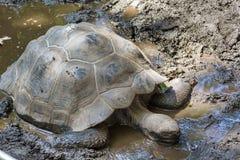 Turtle. Huge spanish pond turtle in the Barcelona Turtle Stock Photo
