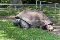 Turtle. Huge spanish pond turtle in the Barcelona Turtle Royalty Free Stock Photo