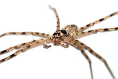 Huge spider Royalty Free Stock Image