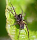 Huge Spider. On a green Leaf Stock Images