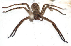 Huge spider on wall Royalty Free Stock Photo