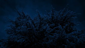 Huge Spiky Tree At Night. Big conifer in the moonlight stock footage