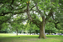 Huge spreading tree in Muckross gardens. Stock Image