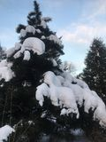 Huge spruce covered with snow in the winter forest stock photo