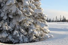 Huge spruce tree in winter Stock Photos
