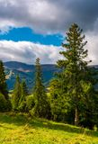 Huge spruce trees of Carpathian forests. Beautiful scenery on a cloudy day. mountain Hymba of Borzhava ridge in the far distance Royalty Free Stock Images