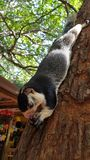 A huge squirrel sits on a tree stock photo