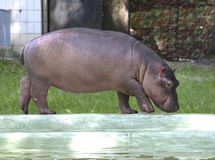 Huge stones in the clearing. The cub of a hippopotamus in the Kiev zoo Royalty Free Stock Images