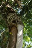 Strangling Vine surrounding Palme Tree trunk Royalty Free Stock Photography