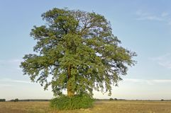 Huge summer tree alone horizontal Royalty Free Stock Images