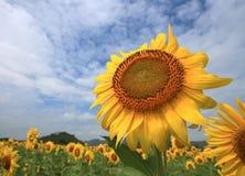 Huge Sunflower Stock Photography
