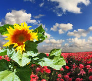 Huge sunflower blooming in a field Royalty Free Stock Photos