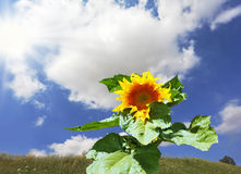 The huge sunflower Stock Images