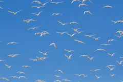 Huge swarm of terns taking off from lagoon in sun Royalty Free Stock Photography
