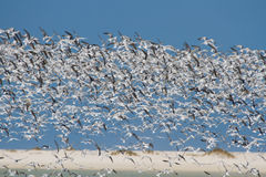 Huge swarm of terns taking off from lagoon in sun Royalty Free Stock Images