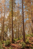 The huge, tall trees rise before me.  royalty free stock photography