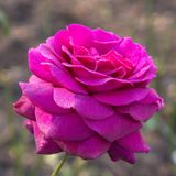 A huge terry purple rose in dew drops. royalty free stock images