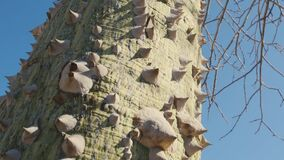 Huge thorns of the silk floss tree. Ceiba speciosa, deciduous tree native to the tropical and subtropical forests of