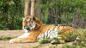 Huge tiger laying Royalty Free Stock Photography